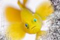 Lubricogobius exiguus - Yellow Pygmy Goby