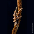I found this little Xeno Crab sitting on a whip coral in about 25 meters depth. The crab tried to hide, but I managed to get the shot eventually. I placed my strobes left and right of the crab to get a nice black background.