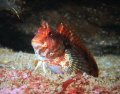 Red or Portuguese Blenny (Parablennius ruber) - Picture taken in Dunmanus Bay Ireland