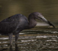 A little blue heron harvesting a crayfish in the San Antonio River  San Antonio  TX