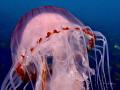 Compass Jellyfish off Portland Bill in Dorset, UK