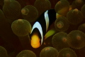 Clown fish hide and seek, with Nikon 1 camera and Nikon strobe