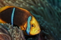 The Orange-Fin Anemonefish (Amphiprion chrysopterus) is one of the many colorful reef fish of the South Pacific. This small specimen was found at a depth of approximately 20m, off the island of Mo'orea.