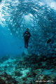 Jackfish and diver