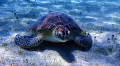 """Hey Dude"". This was the first Sea Turtle I ever encountered! It was taken at Turtle Bay in St. Thomas"