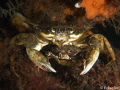 Usually common crab