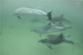 Swimming with a pod of bottlenose dolphins of New zealands east coast