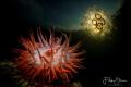 Beadlet anemone (Actinia equina) and moon jellyfish (Aurelia aurita), Zeeland, The Netherlands. Double exposure in camera.