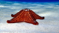 Cushion Sea Star in the Berry Islands