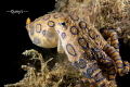 Picture was taken last week in Anilao, the 2nd dive of the day. This blue ring octopus look quite big, 5 to 6 cm.