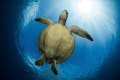 Flying turtle in the sun. Green turtle from Moorea, french Polynesia.
