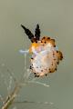 Tiger favorinus nudibranch.