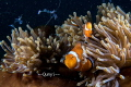 Picture was taken in Romblon, Philippines. Three nemo with many shrimps swimming around. 