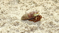 Hermit Crab walking down the beach in the Berry Islands using Olympus TG 4