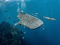 Oh No It Isn't!  Whale Shark - Rhincodon typus  Sail Rock, Thailand