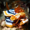 Nudibranch and two emperor Shrimp