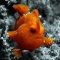 Baby Frogfish in Lembeh Strait.