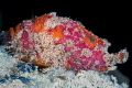 Freckled Frogfish on Sipadan Wreck