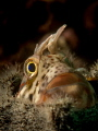 Blenny in a an empty blanus shell.