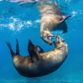 Brown Californian Sea Lions