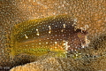 Starry algae blenny.