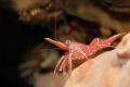 Camel Shrimp/Dancing Shrimp/Hingebeak Prawn. Just a little closer and it will give you a manicure for free.