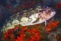 The ambush Predator or super klipfish is  waiting silently for its prey