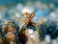 Eye eye ... !  Peacock Mantis Shrimp - Odontodactylus scyllarus  Bali, Indonisia