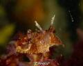 Bruine plooislak, gonedoris castanea