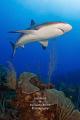 Apex    A female Caribbean reef shark cruises the reef.