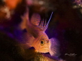 goby on torch light