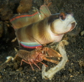 In a symbiotic relationship, a small shrimp cleans out the hole it shares with a goby who keeps a lookout for predators.
