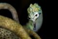 Coral pipefish