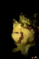 Painted frogfish with snoot strobe