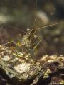 Gewone steurgarnaal, palaemon serratus