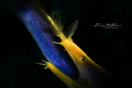 Ribbon eels , snooting with videolight 