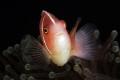 Pink Anemonefish, Anilao