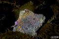 painted velvet fish hidden among kelp