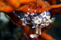 Harlequin shrimp Location: Bali - Tulamben