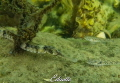 Zeenaald, syngnathus acus
