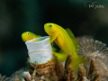 Goby pair at their home (nursery on the other side)
