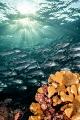 Jackfish shoal under the sun ray's in Sipadan.