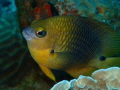 A Damselfish poses for the camera in the waters of the Roatan Marine Park.