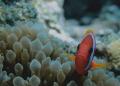 Clown Fish. Canon 550D, 60mm macro lens. No strobe. Aese Island, Santo,Vvanuatu.