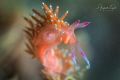 Nudibranch Pink, La Paz México