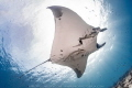 One of the many giant pacific Manta Rays gliding around La Reina, La Paz, Sea of Cortez