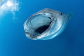 Whale Shark , Mouth Open