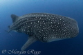 There is nothing quite like having a one on one encounter with a large whaleshark, drifting alone in the blue and having this beauty sneak up behind me will never be forgotten.