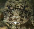Gewone zeedonderpad  Myoxocephalus scorpius