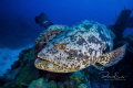 Did you know that The Atlantic goliath grouper or itajara (Epinephelus itajara), also known as
